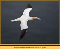 gannet-15.jpg
