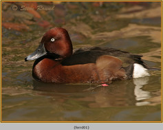 ferruginous-duck-01c.jpg