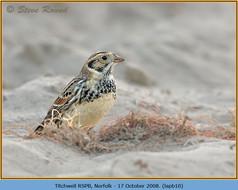lapland-bunting-10.jpg