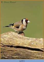 goldfinch-61.jpg