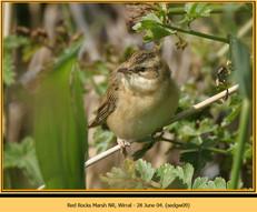 sedge-warbler-09.jpg