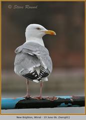 herring-gull-01.jpg