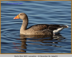 greylag-goose-02.jpg