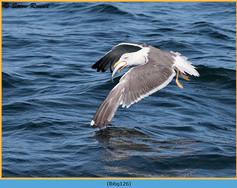 lesser-black-backed-gull-126.jpg