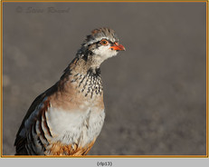red-legged-partridge-13.jpg