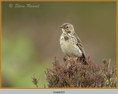 meadow-pipit-25.jpg