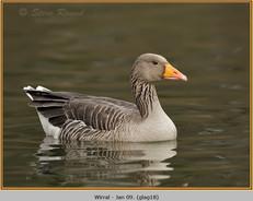 greylag-goose-18.jpg