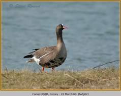 lesser-w-f-goose-02.jpg