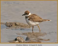 little-ringed-plover-06.jpg
