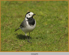 white-wagtail-04.jpg