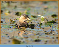 little-grebe-29.jpg