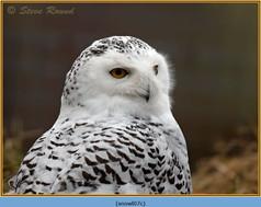 snowy-owl-07c.jpg
