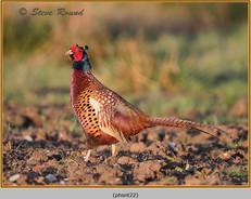 pheasant-22.jpg