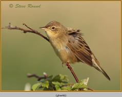 grasshopper-warbler-46.jpg