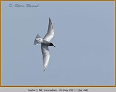 black-tern-04.jpg