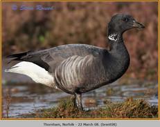 brent-goose-08.jpg