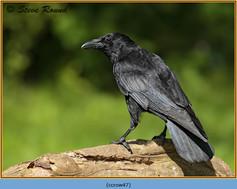 carrion-crow-47.jpg