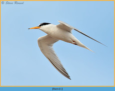 little-tern-11.jpg