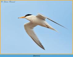 little-tern-11.jpg