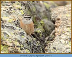 rock-bunting-17.jpg