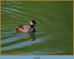 black-necked-grebe-20.jpg