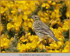 meadow-pipit-31.jpg