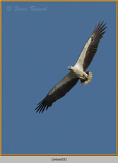 white-bellied-sea-eagle-03.jpg