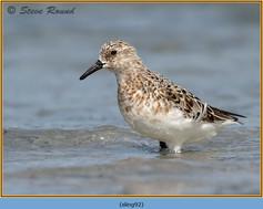 sanderling-92.jpg