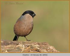 bullfinch-36.jpg