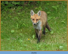 fox-96.jpg