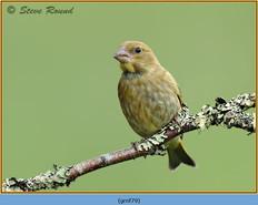 greenfinch-79.jpg