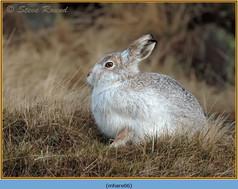mountain-hare-06.jpg