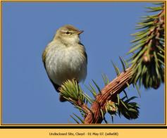 willow-warbler-08.jpg