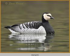 barnacle-goose-16.jpg