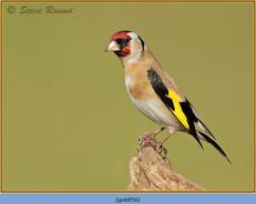 goldfinch-56.jpg