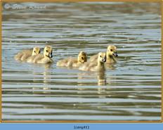 canada-goose-41.jpg