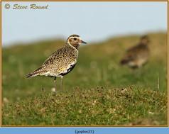 golden-plover-25.jpg