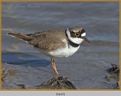little-ringed-plover-22.jpg
