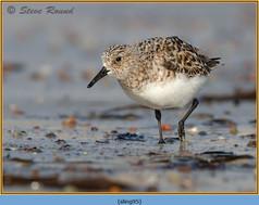 sanderling-95.jpg