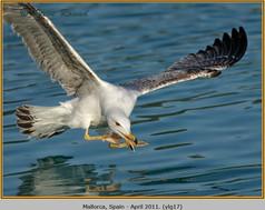 yellow-legged-gull-17.jpg