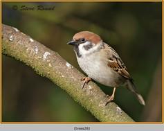 tree-sparrow-28.jpg
