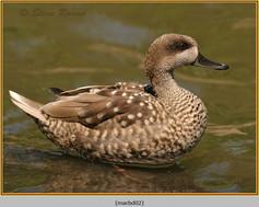 marbled-duck-02c.jpg