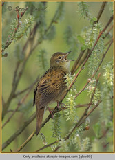 grasshopper-warbler-30.jpg