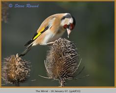goldfinch-33.jpg