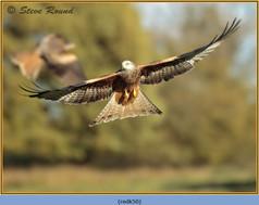 red-kite-50.jpg