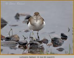 common-sandpiper-15.jpg