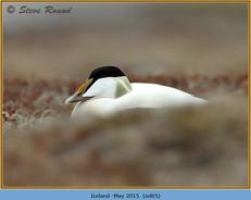 eider-duck- 65.jpg