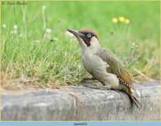 green-woodpecker-35.jpg