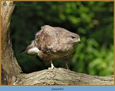 buzzard-101.jpg