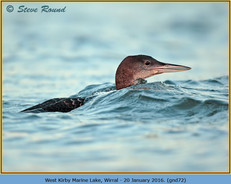 great-northern-diver-72.jpg